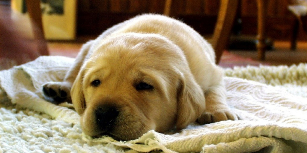 How To Remove Dog Hair From Your Rug